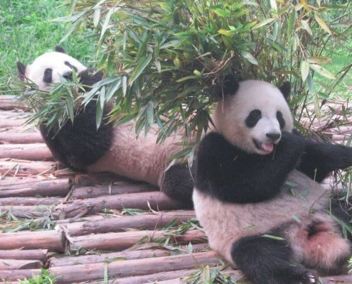 giant panda - China - chengdu