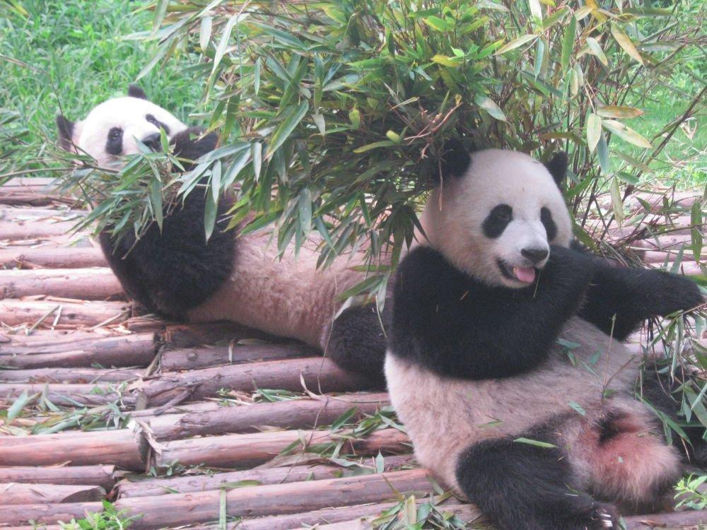 panda gigante - China - Chengdu