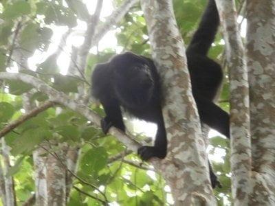 scimmia-messico-yaxchilan