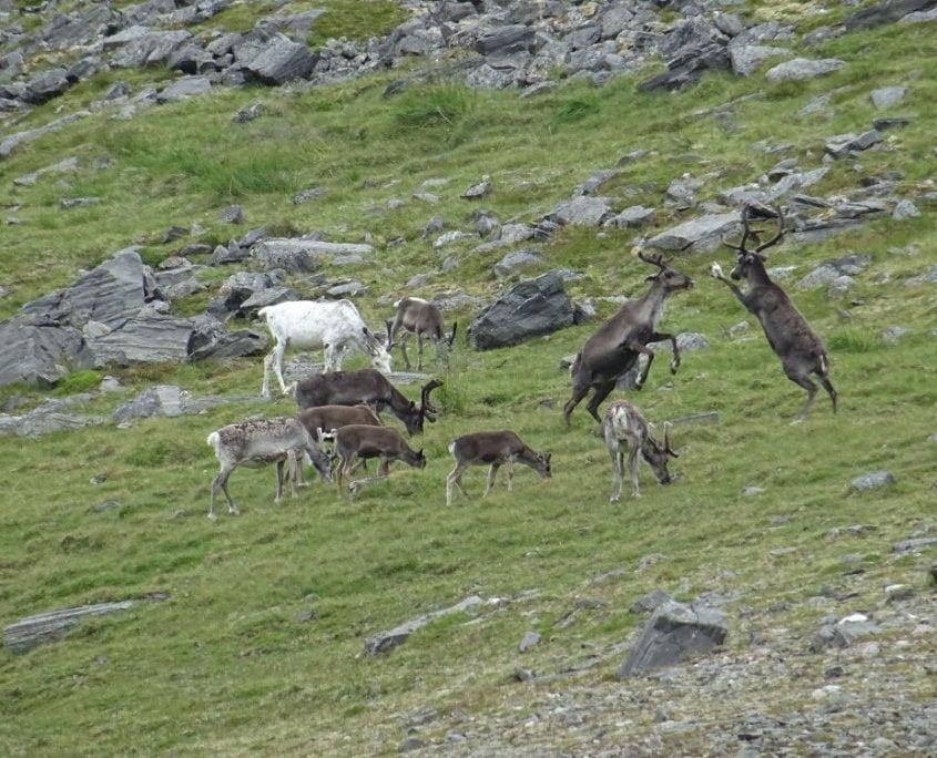 Knivskjellodden reindeer