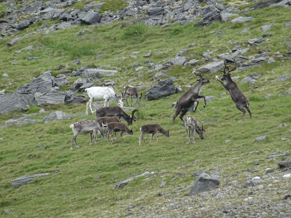 Norway - reindeer