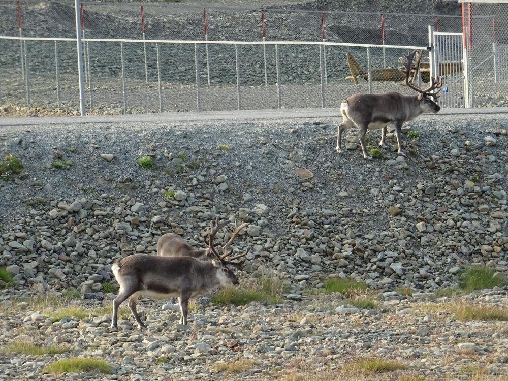 Svalbard Islands - Longyearbyen - reindeer