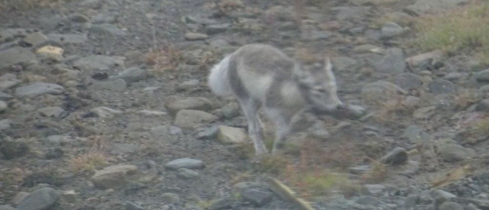 Volpe artica - Artico