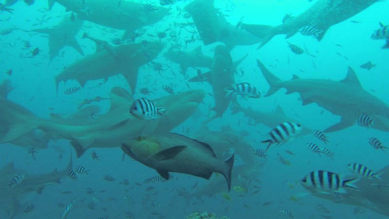 Fiji - Beqa Lagoon - immersione squali senza gabbia - sharks without cage