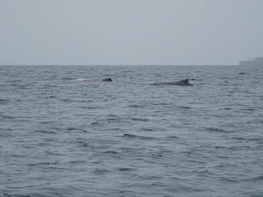 Tonga - Nuku'alofa - nadar con ballena jorobada