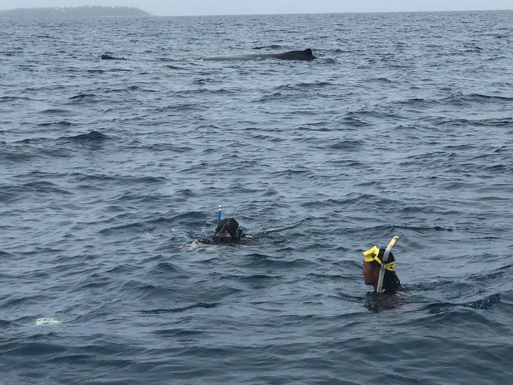 Tonga - humpback whales