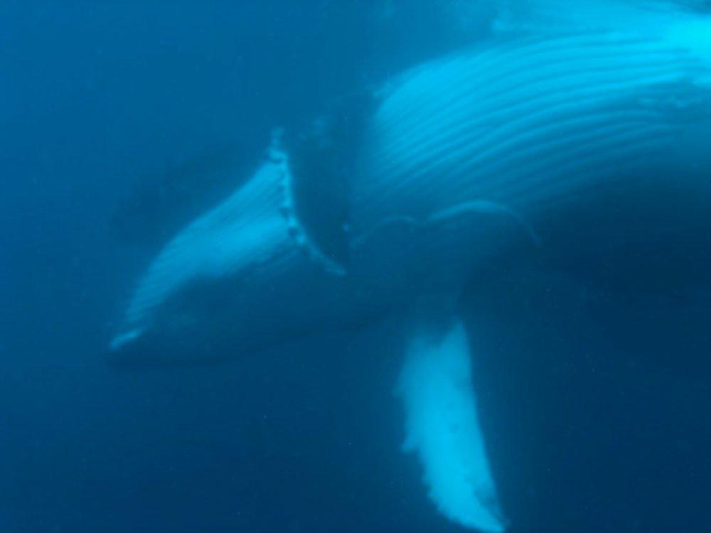Tonga - nuotando con le balene