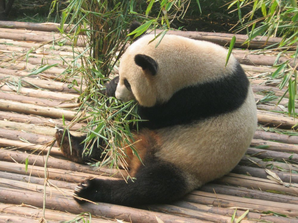 China - Chengdu - Panda Reserve
