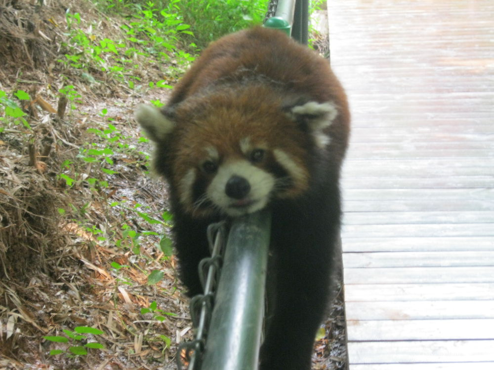 China - Chengdu - Panda Reserve - Red Panda