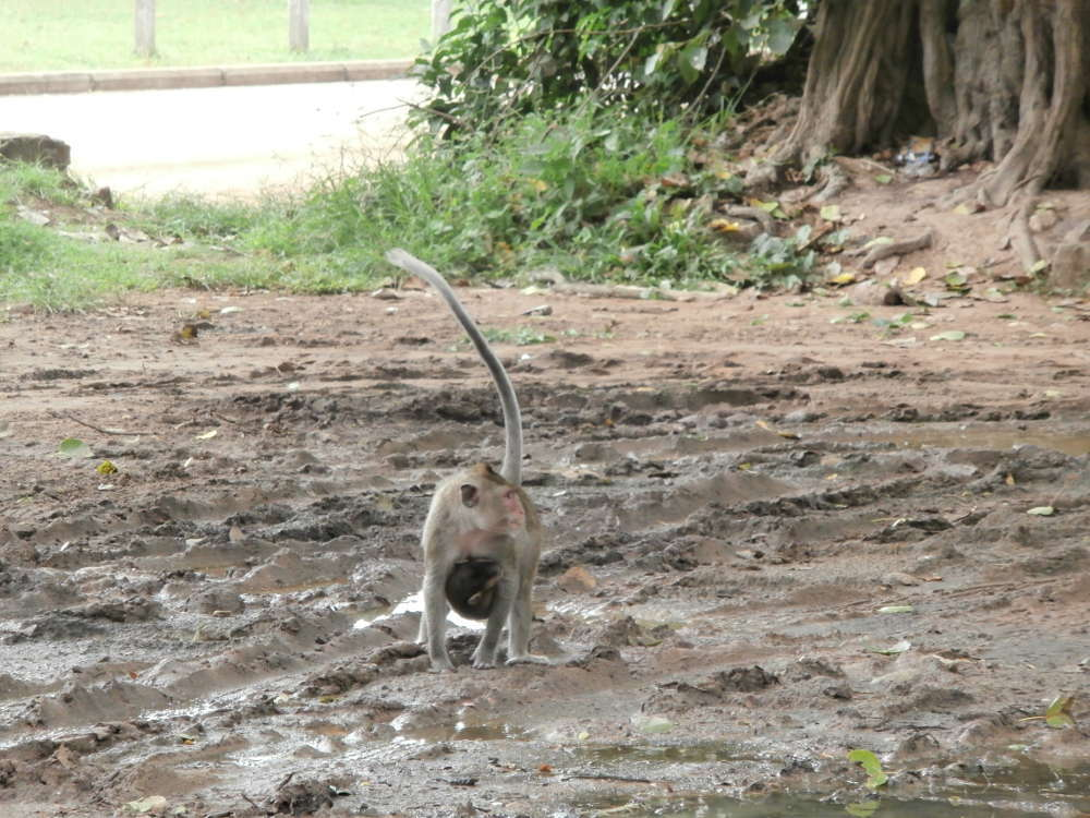 Cambodia-Angkor-Wat-Cambodia - Angkor - monkeys in the street