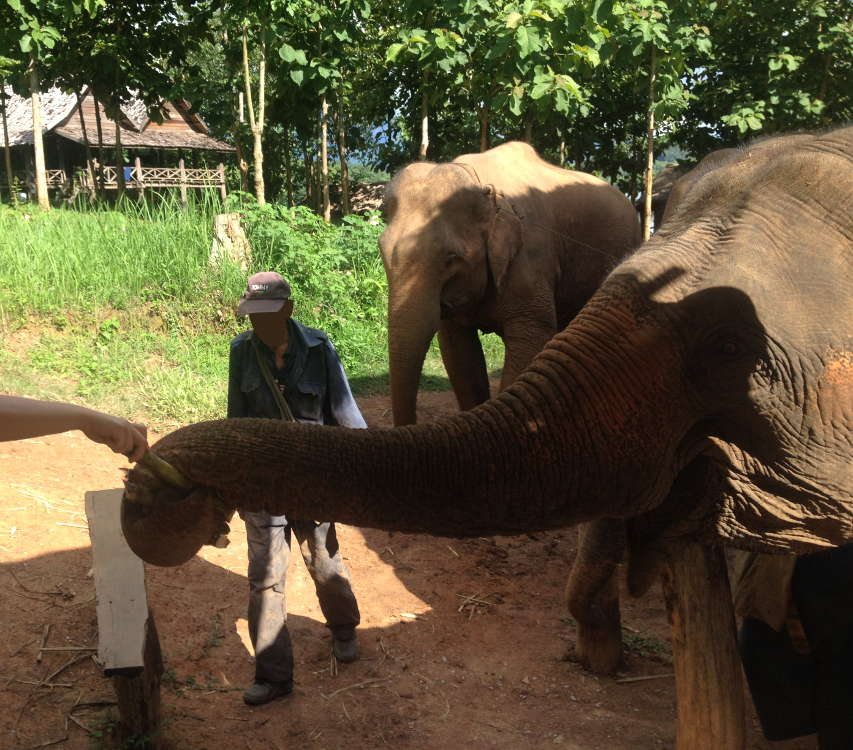 Laos - ECC Elephant Conservation Center - dando da mangiare