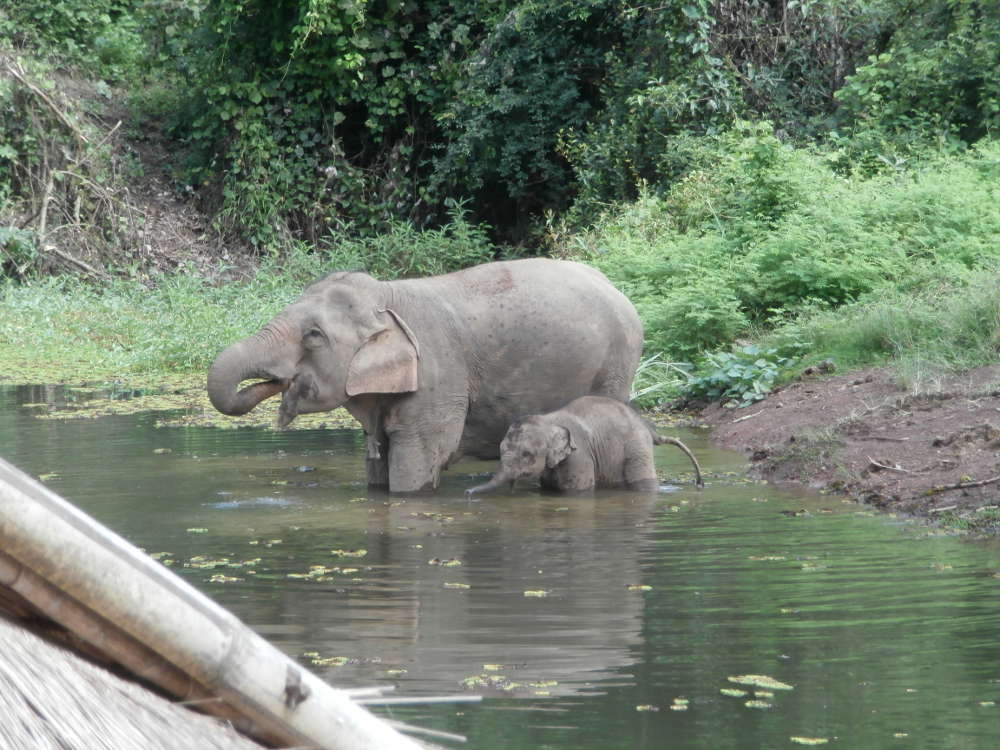 Laos - ECC Elephant Conservation Center - mamma e cucciolo