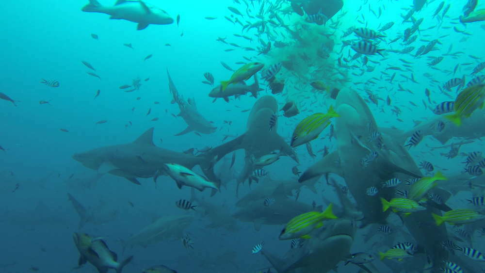 Fiji Islands - Beqa Lagoon - diving with sharks without cage