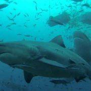 - immersione con gli squali senza gabbia