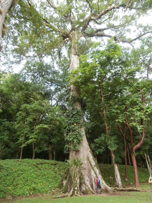 México-árbol-ceiba