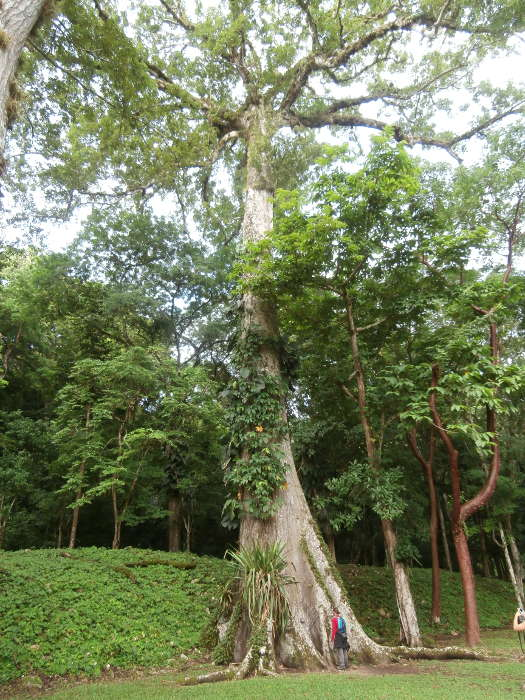 Messico-albero-ceiba