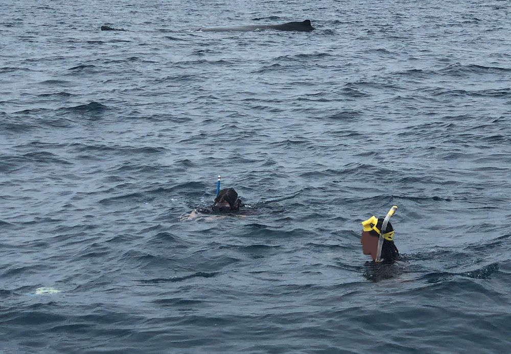 Tonga - nuotare con le balene megattere